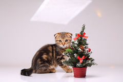Scottish fold kitten playing Stock Photo
