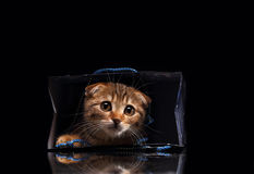 Scottish fold kitten playing Royalty Free Stock Image