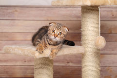 Scottish fold kitten playing Stock Photos
