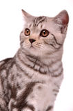 Scottish fold kitten portrait Royalty Free Stock Image