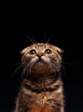 Scottish fold kitten. Posing on the black background Stock Photos