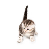 Scottish Fold kitten with reflection on white Stock Image