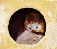 Scottish fold kitten self confident character. There is scottish fold kitten in its home , as pointed out its character , likes to be very secure , not too much Royalty Free Stock Photo