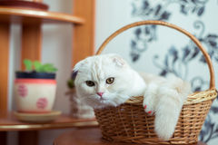 Scottish Fold kitten sits in  wicker basket in  room Stock Photography