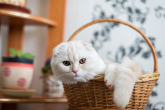 Scottish Fold kitten sits in  wicker basket in  room Stock Images