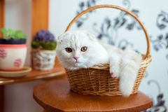 Scottish Fold kitten sits in  wicker basket in  room. Scottish Fold kitten sits in a wicker basket in the room Royalty Free Stock Image