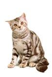 Scottish fold kitten sitting isolated Stock Photos