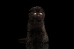 Scottish Fold Kitten Sitting and Looking in Profile Isolated on Black Stock Image