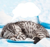 Scottish Fold kitten is sleeping and dreaming Stock Photos