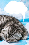 Scottish Fold kitten is sleeping and dreaming Royalty Free Stock Images