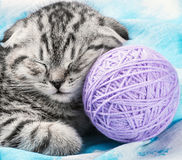 Scottish Fold kitten sleeps Stock Photography