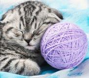 Scottish Fold kitten sleeps. On the tangles of yarn Stock Photography