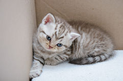 Scottish fold kitten Royalty Free Stock Photos