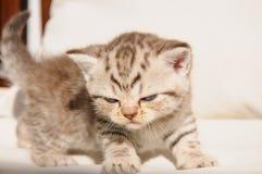 Scottish fold kitten Royalty Free Stock Photography