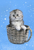 Scottish fold kitten in snow stock photo