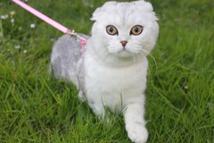 Scottish Fold. Kitten walking in the green grass Stock Photography