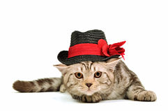 Scottish fold kitten wearing black hat isolated Stock Photography