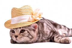 Scottish fold kitten wearing white straw hat Stock Photo