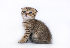 Scottish Fold kitten on a white Royalty Free Stock Photo