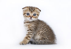 Scottish Fold kitten on a white Stock Photography