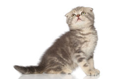 Scottish Fold kitten on white background Stock Image
