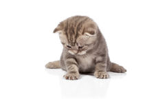 Scottish-fold kitten on white Stock Photos