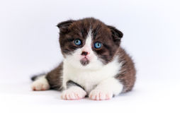 Scottish fold kitten Stock Image