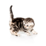 Scottish Fold kitten on white Royalty Free Stock Photos