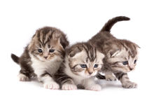 Scottish fold kittens Royalty Free Stock Image