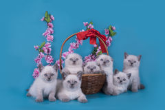 Scottish Fold kittens in a basket on a blue background.  Stock Image