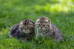 Scottish Fold kittens. Purebred Scottish Fold kittens sit side by side in the green meadow Stock Photos