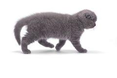 Scottish fold kitty Royalty Free Stock Image