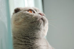 Scottish fold kitty. Gray scottish fold kitty looking around Royalty Free Stock Images