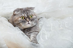 Scottish Fold lies in white transparent curtains. Scottish Fold hides in curtains of window Stock Photography
