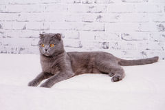 Scottish Fold lop-eared. Royalty Free Stock Photos