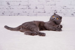 Scottish Fold lop-eared. Royalty Free Stock Images