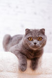 Scottish Fold lop-eared. Royalty Free Stock Photography