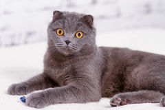 Scottish Fold lop-eared. Stock Photography