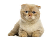 Scottish fold lying, looking at the camera, isolated Stock Images