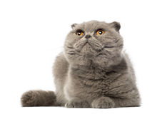 Scottish Fold lying and looking up, 3 years old Royalty Free Stock Photography