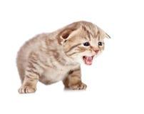 Scottish fold meowing kitten isolated on white. Background Stock Image