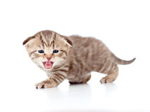Scottish fold meowing kitten on white Royalty Free Stock Images