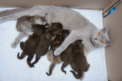 Scottish fold Mother cat milk feeding her kittens Royalty Free Stock Photo