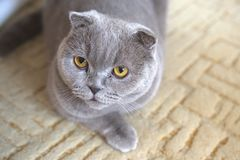 Portrait of a cat relax. Scottish Fold. Portrait of a gray adult cat. Selective focus. cat lies on the carpet royalty free stock photo