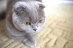 Portrait of a cat relax. Scottish Fold. Portrait of a gray adult cat. Selective focus. cat lies on the carpet royalty free stock photography