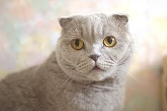 Portrait of a cat relax. Scottish Fold. Portrait of a gray adult cat. Selective focus. cat lies on the carpet stock photo