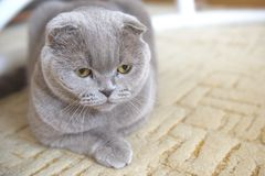 Portrait of a cat relax. Scottish Fold. Portrait of a gray adult cat. Selective focus. cat lies on the carpet stock image