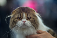 Scottish Fold portrait. Pedigree Cat Stock Photography