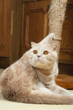 Scottish Fold Purebred Red Cat Royalty Free Stock Images
