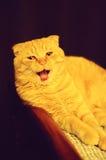 Scottish fold redhead cat Stock Photos